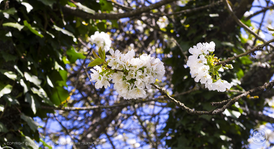Cherry Trees - April 2017 – Tsukimori - Sketchbook by Tsukimori - Featured